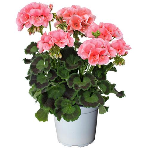 4er set geranien h ngend stehend pflanzen balkon pelargonium zonale peltatum neu ebay. Black Bedroom Furniture Sets. Home Design Ideas