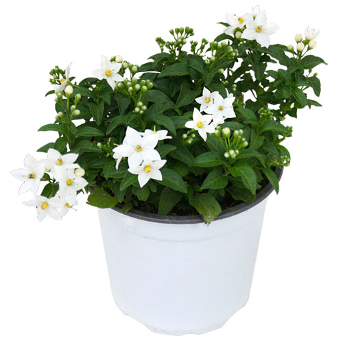 4er set wandelr schen euphorbia staude solanum jasminoides. Black Bedroom Furniture Sets. Home Design Ideas