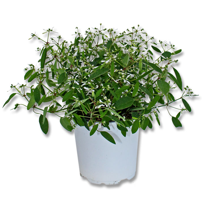 4er set wandelr schen euphorbia staude solanum jasminoides blumen pflanze balkon ebay. Black Bedroom Furniture Sets. Home Design Ideas